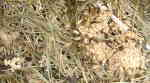 Svartmyra (Lasius niger)