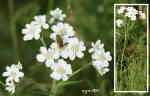 Vit blomma (inte en susning) och Gul hagblomfluga (Syrphus ribesii)