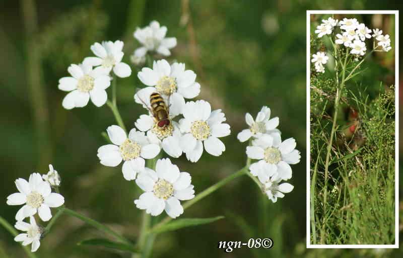 Nysört (Achillea ptarmica) och Gul hagblomfluga (Syrphus ribesii)