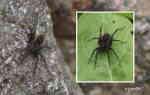 Familj: Vargspindel (Lycosidae)?
