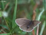 Luktgräsfjäril (Aphantopus hyperantus), hona