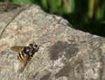 Ljungtorvblomfluga (Sericomyia silentis)