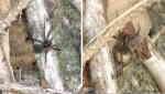 Ängsvargspindel (Pardosa amentata)