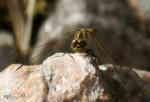 Ängstrollslända (Sympetrum vulgatum), hona