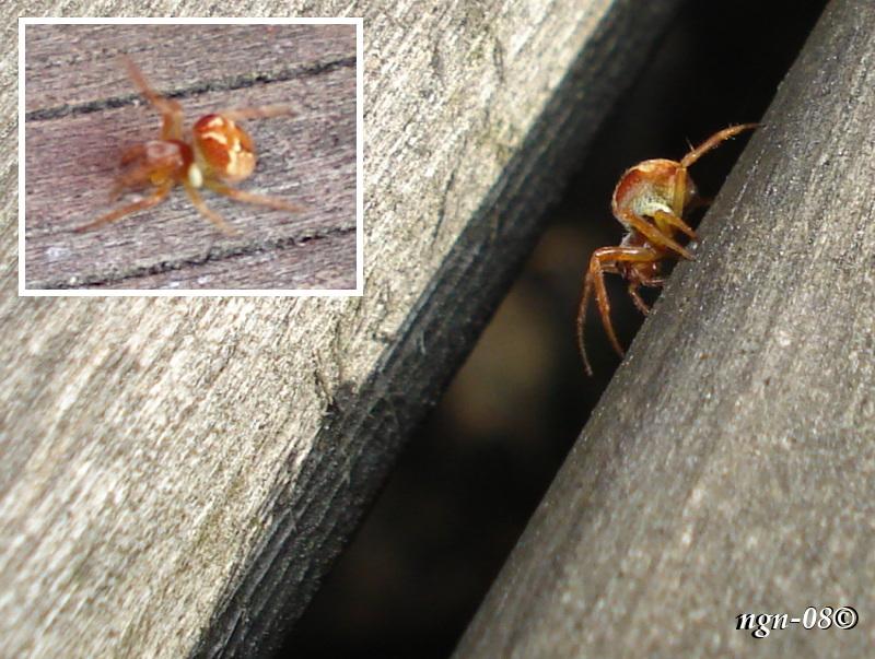 Kvadratspindel (Araneus quadratus)? hane, med någon slags parasit?
