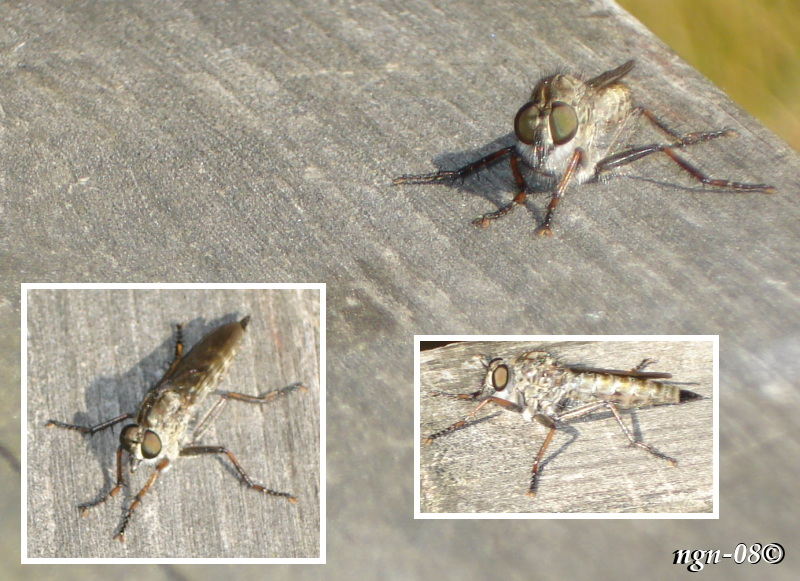 Rovfluga (Familj: Asilidae)? (Pamponerus germanicus)? eller (Philonicus albiceps)?