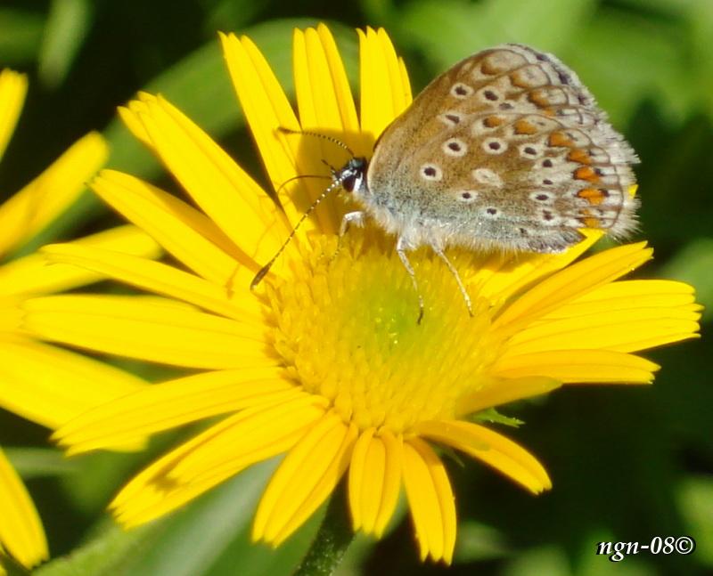 Midsommarblåvinge (Aricia artaxerxes) på Hästfibla (Arnica montana)