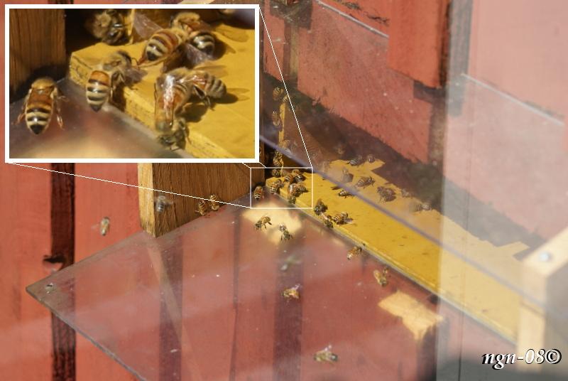 Honungsbin (Apis mellifera Apidae)