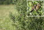 [Bild: ?? Buskskvätta (Saxicola rubetra) eller Sävsparv (Emberiza schoeniclus)]
