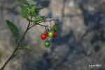 [Bild: Mogna och omogna bär på Besksötan (Solanum dulcamara)]