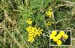 [Bild: Renfana (Tanacetum vulgare) med besök av Gul hagblomfluga (Syrphus ribesii)]