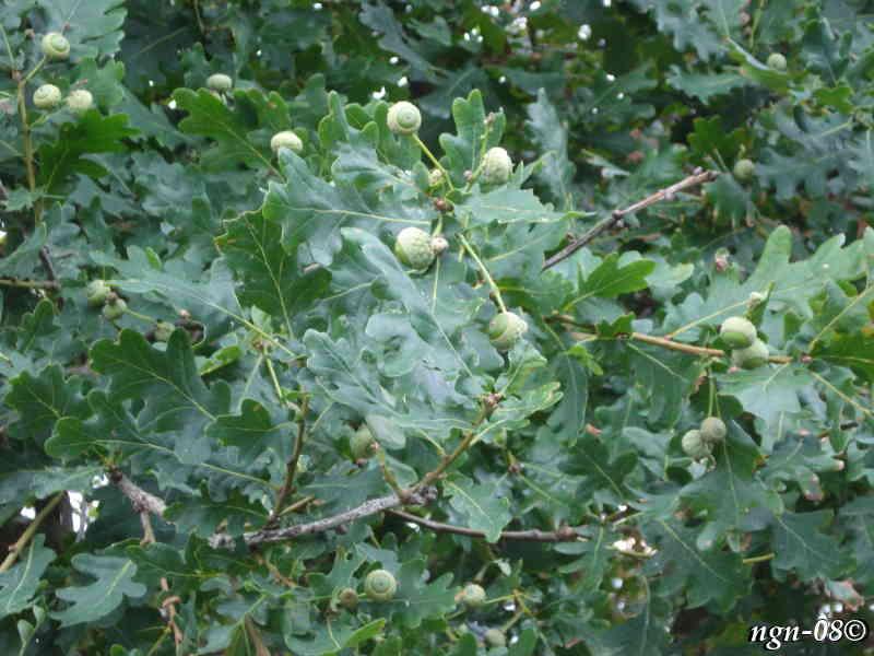 [Bild: Skogsek och ekollon (Quercus robur Fagaceae)]