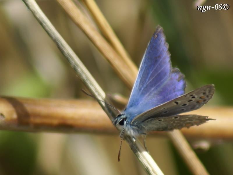 [Bild: Puktörneblåvinge (Polyommatus icarus Lycaenidae), hane]