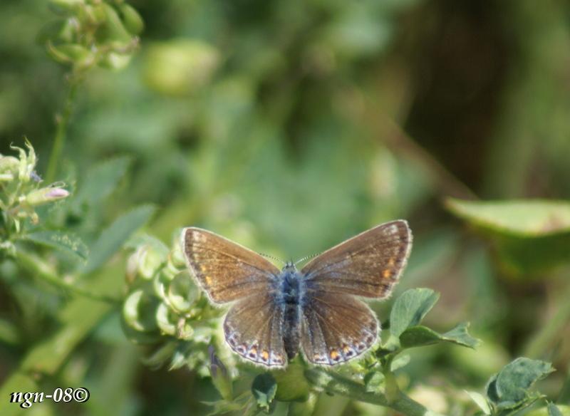 [Bild: Puktörneblåvinge (Polyommatus icarus Lycaenidae), hona]
