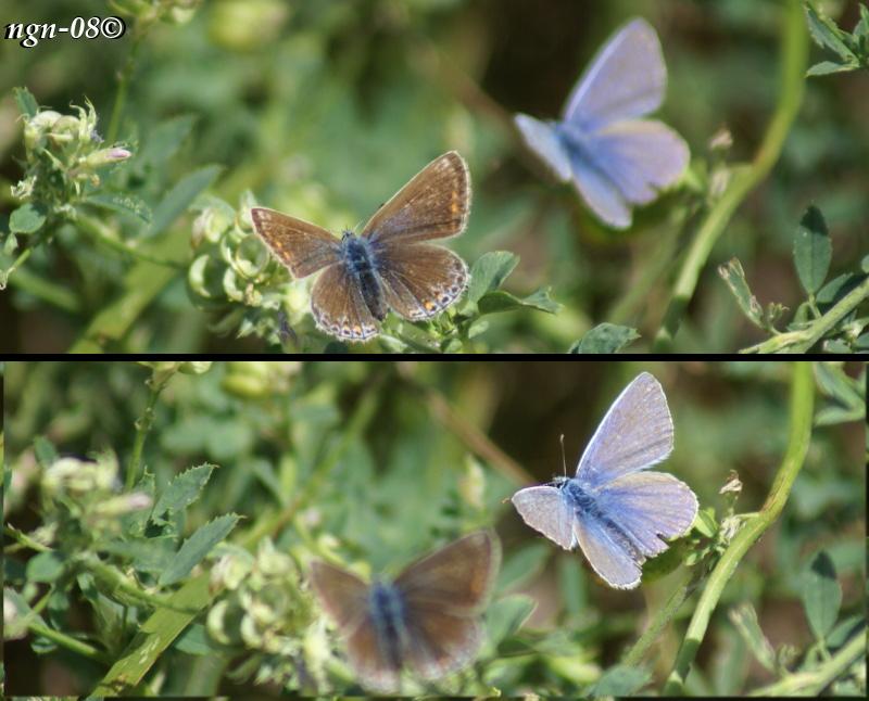 [Bild: Puktörneblåvinge (Polyommatus icarus Lycaenidae), hona & hane]