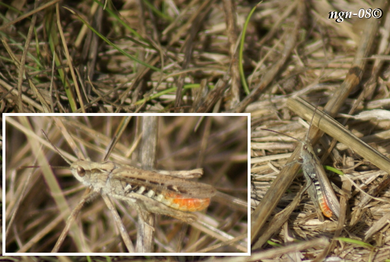 [Bild: Stor klubbgräshoppa (Gomphocerippus rufus Acrididae)]
