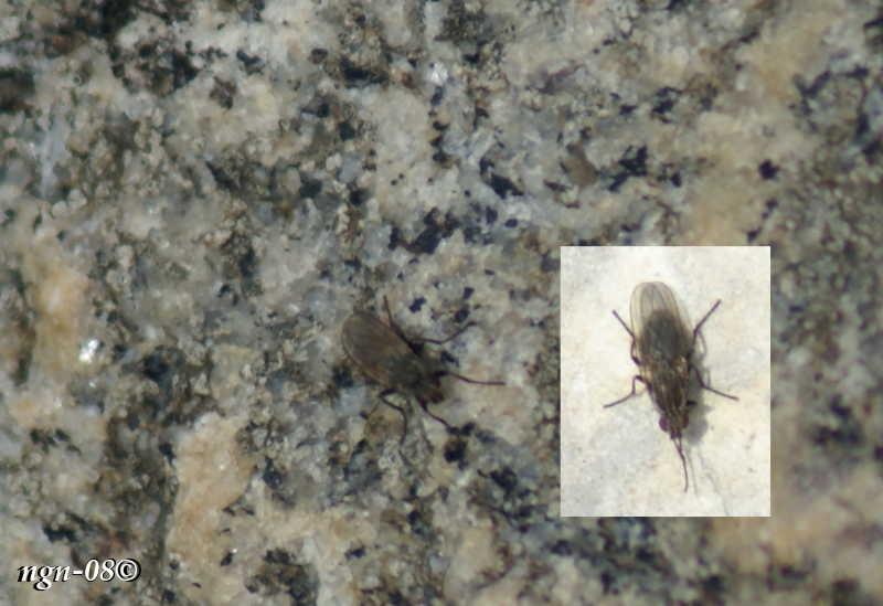 [Bild: Tångfluga (Familj: Coelopidae)]