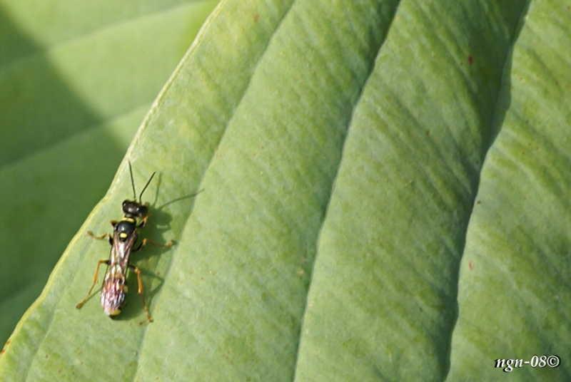 [Bild: Rovstekel (Mellinus arvensis Sphecidae)]