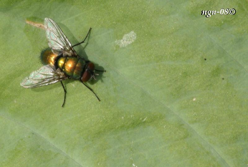 [Bild: Guldfluga (Lucillia sericata Calliphoridae)]
