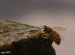 [Bild: Honungsbi (Apis mellifera Apidae)]
