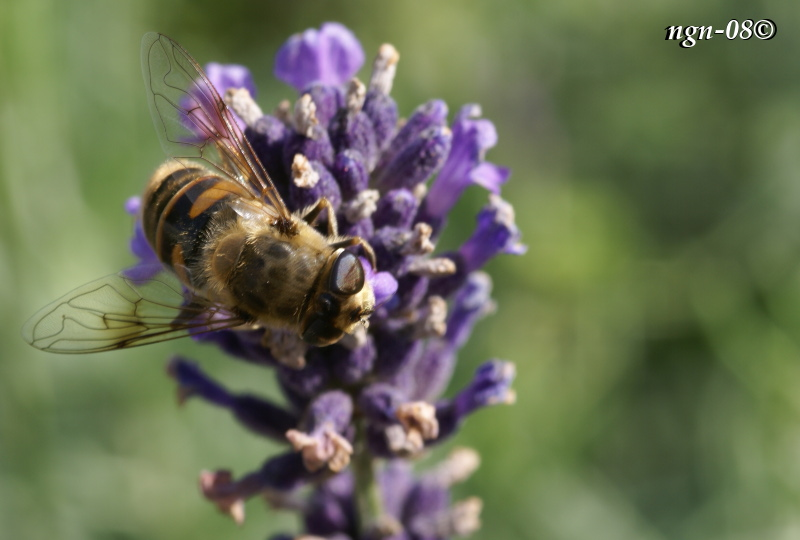 [Bild: Bilik slamfluga (Eristalis tenax Syrphidae)]