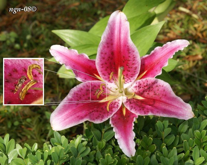 [Bild: Blomma (?) med besök av Baltblomfluga (Episyrphus balteatus), flugan är suddig.]