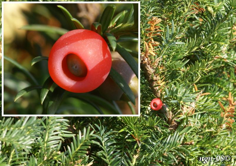 [Bild: Idegran (Taxus baccata) med frömantel (arillus)]