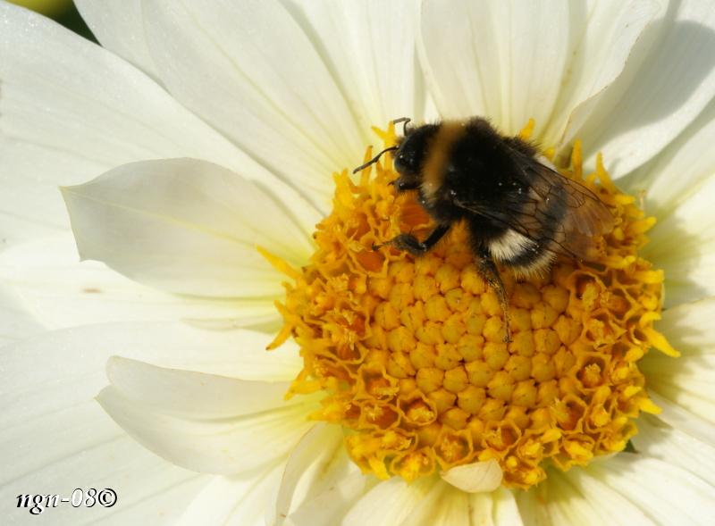 [Bild: Humla (Familj: Apidae)]