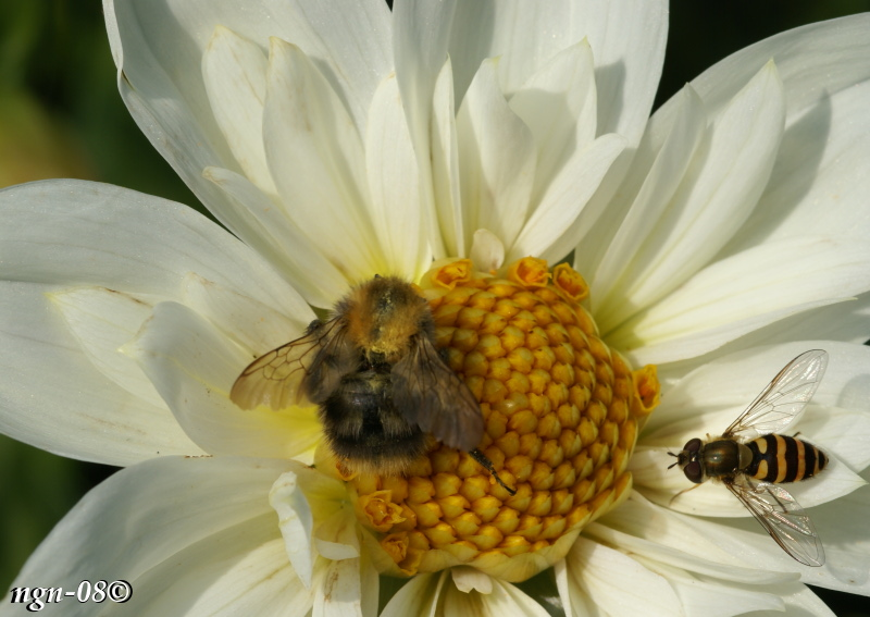[Bild: Gul hagblomfluga / Getinglik blomfluga / Vinbärsblomfluga (Syrphus ribesii Syrphidae) och Humla (Familj: Apidae)]