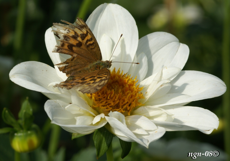 [Bild: Myrpärlemorfjäril (Boloria aquilonaris), troligtvis.]