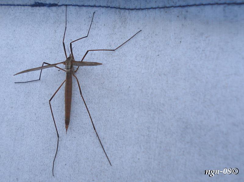 [Bild: Kärrharkrank (Tipula paludosa Tipulidae), hona]