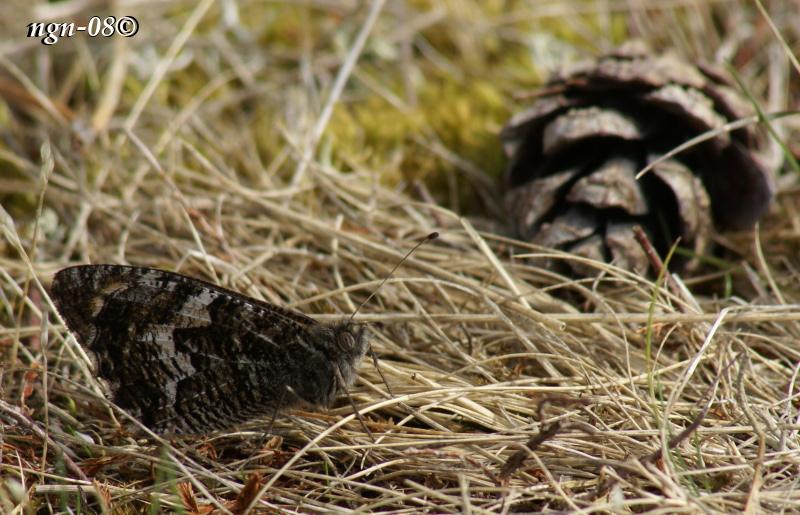 [Bild: Sandgräsfjäril (Hipparchia semele)]