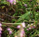 [Bild: Stor vårtbitare (Decticus verrucivorus Tettigoniidae), hane]