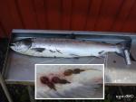 [Bild: Ätranlax (Salmon salar) med Laxlus(Lepeophthei´rus salmo´nis)]
