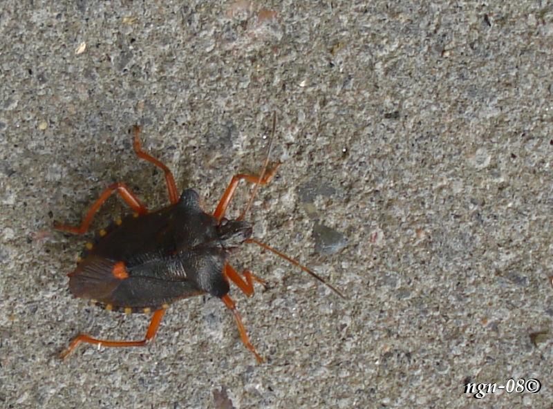 [Bild: Rödbent bärfis (Pentatoma rufipes Pentatomidae)]
