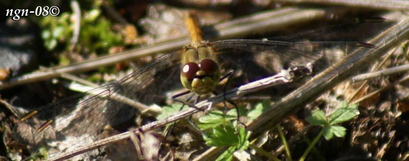 Ängstrollslända (Sympetrum sanguineum) hona