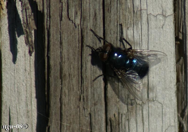 Blå spyfluga (Calliphora vomitoria)
