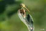 Ängstrollslända (Sympetrum vulgatum)
