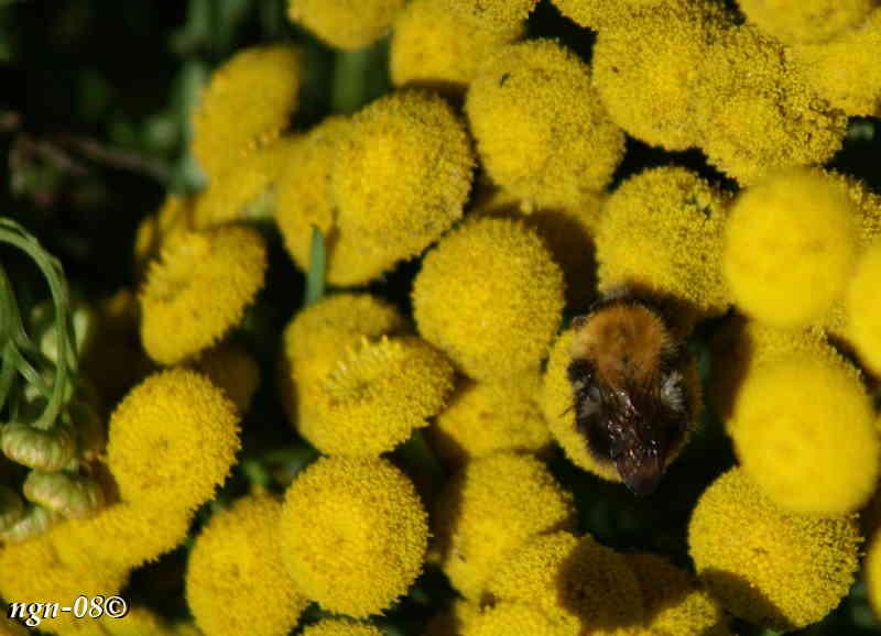 Åkerhumla (Bombus pascorum) på Renfana (Tanacetum vulgare)