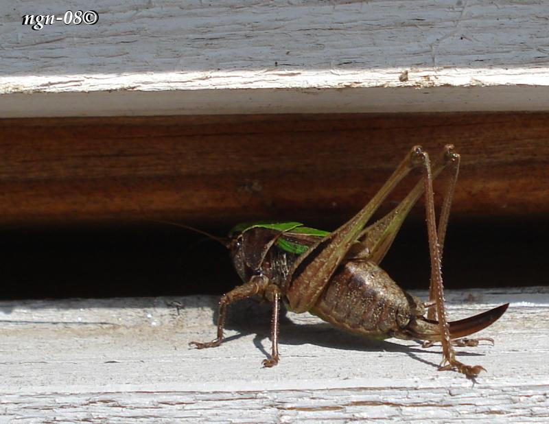 Ljungvårtbitare (Metrioptera brachyptera Tettigoniidae), hona