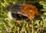 Trädhumla (Bombus hypnorum)