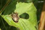 Spetsbärfis (Picromerus bidens)