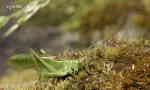 Grön vårtbitare (Tettigonia viridissima), hane