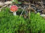 Röd flugsvamp (Amanita muscaria)