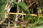 Skogsödla (Lacerta vivipara)