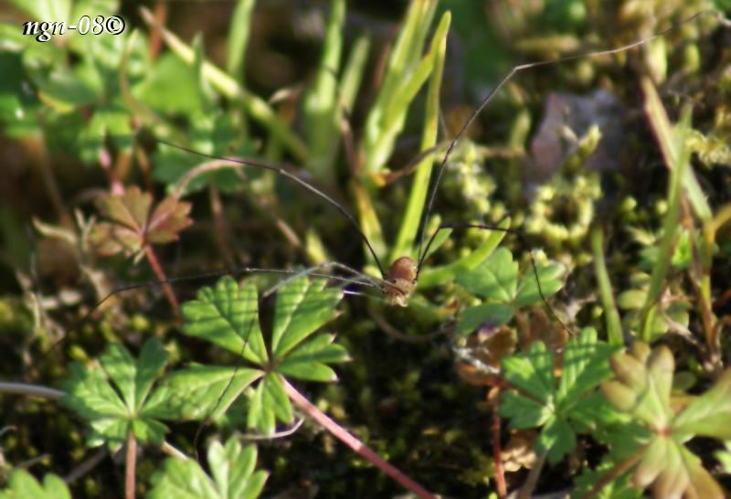 Italienlocke (Opilio canestrinii Opiliones)