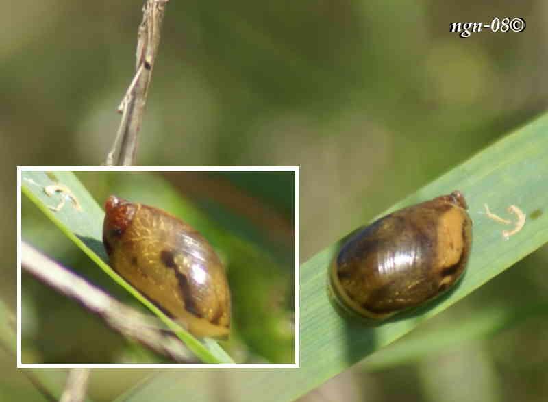 Mörk bärnstenssnäcka (Succinea pfeifferi Succineidae)