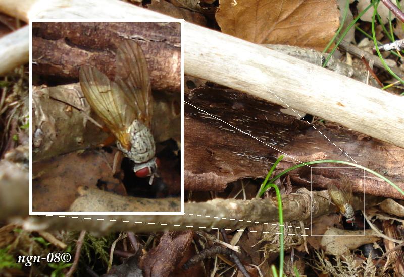 Skogsfluga (Hydrotaea irritans)