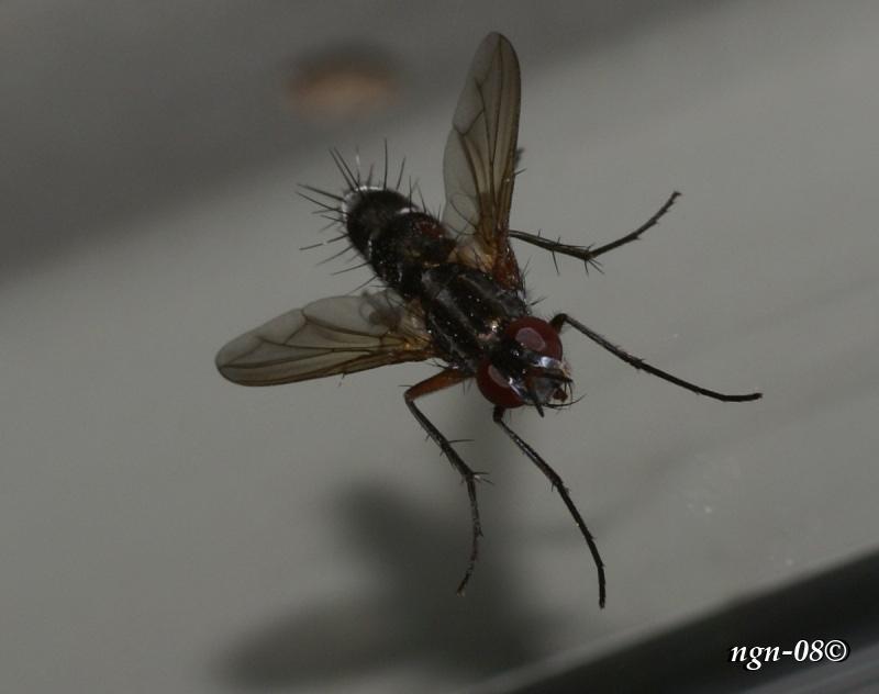 Takdansfluga, liten husfluga (Fannia canicularis Fanniidae)