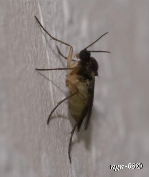Sorgmygga (Sciara thomae Scaridae)